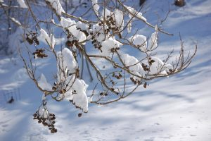 Snow on branches of bare-limbed tree