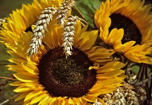 Yellow Sunflowers with wheat sprigs from Pixabay