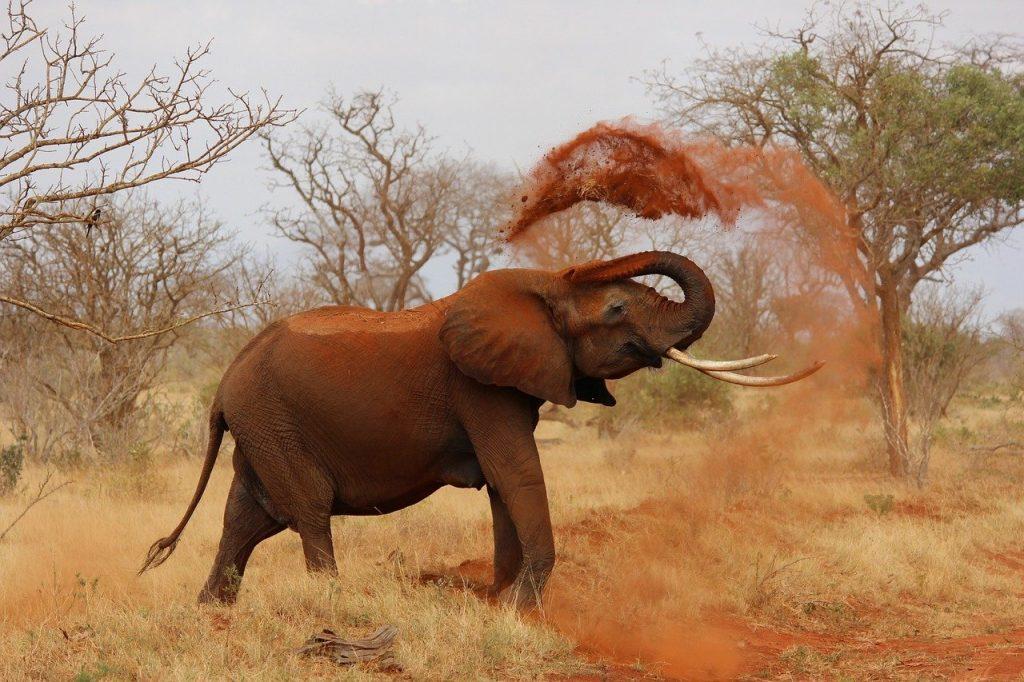 elephant splashing red dust onto its back