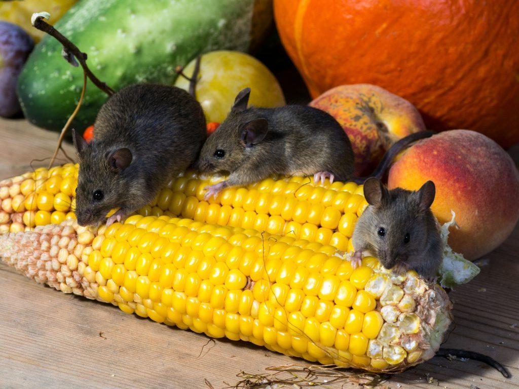 mice eating veggies by Andrea N