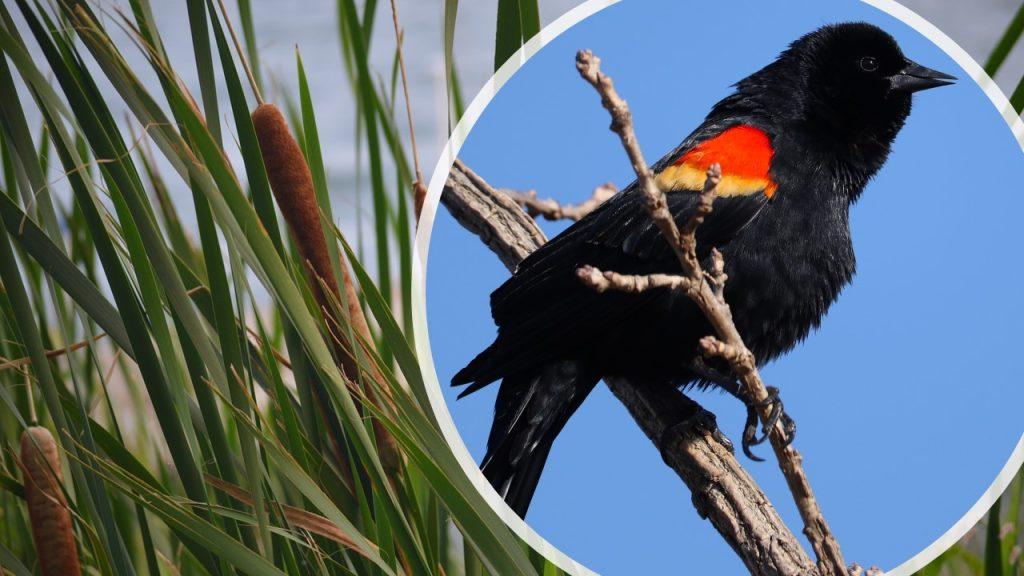 Redwing Blackbird in Cattails - Composite by Nancy Wyatt
