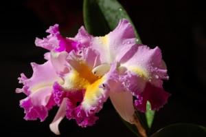 Nancy's Novelty Photos in Pixels Products - cattleya orchid